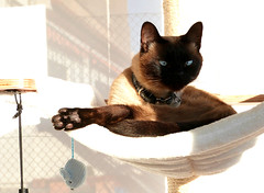 Oh, to be a cat... (Lottie's pets & stuff) Tags: blue pet tree cute animal cat relax point eyes nap traditional kitty siamese seal zen meezer applehead