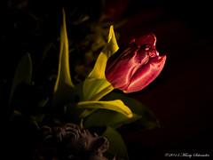 Paarse Tulp - Pink tulip (schreudermja) Tags: pink light flower green licht leaf groen thenetherlands led blad tulip bouquet breda paars bloem boeket tulp samsungnx30 martyschreuder