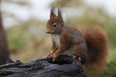 Eekhoorn (Red Squirrel) 001264 (bzd1) Tags: nature animal natuur bos dieren dier animalia rodentia redsquirrel eekhoorn sciurusvulgaris sciuridae knaagdier chordata zoogdier sciurus zoogdieren knaagdieren chordadieren eekhoornachtigen boomeekhoorns kalmthoutbelgie biotoopbos