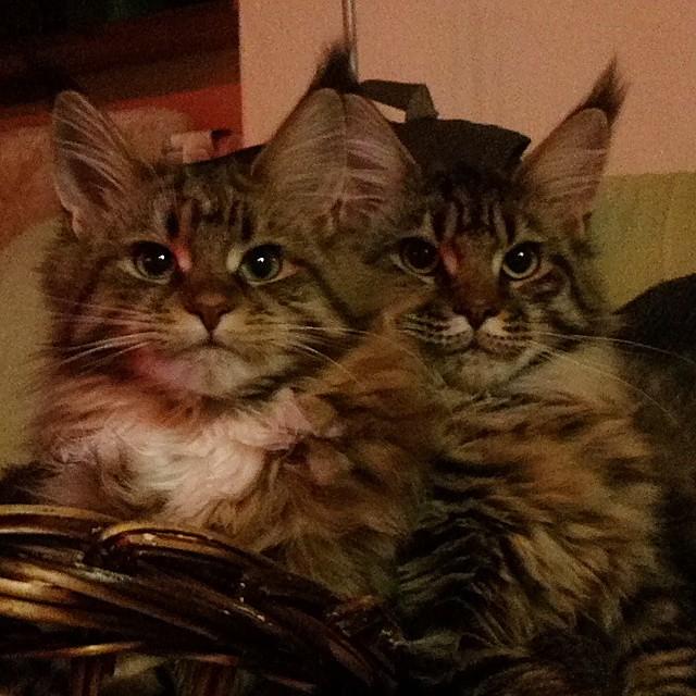 HOLLYCOON Wise Jocasta Nu and HOLLYCOON Zealous Bree van de Kamp  #mainecoonkittens #mainecoonkitten #mainecoonstagram #mainecoon #catkittens #kittens #cats #instakittens #ilovemycat #instacat #meow #mainecooncats #mainecoonlovers #mainecoonkitten #mascot
