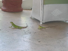 Lizards Aruba