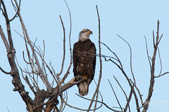 Young Bald Eagle observes from on high