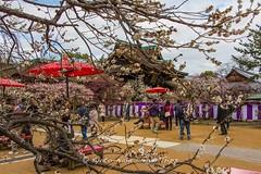 Plum Blossoms at Kitano Tenman-g in Kyoto. (KyotoDreamTrips) Tags: japan kyoto ume matsuri  plumblossoms  baikasai  michizane kitanotenmang