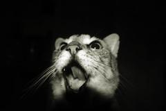 Meow. (narayanadutra) Tags: cat yawn gato thunder bocejo bocejar