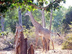 Giraffe in South Luangwa
