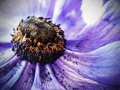 'The dying of the light' (davepickettphotographer) Tags: uk flower macro nature closeup head olympus naturalhistory seeds anemone gb pollen macrophotography em1 esystem olympuscamera
