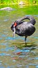 JUST THERE... (Rose Frankcombe) Tags: preening australia tasmania blackswan launceston firstbasin cataractgorgereserve rosefrankcombe