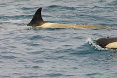 _DSC1842 (Roy Prasad) Tags: ocean travel cruise sea ice expedition water landscape bay harbor boat ship sony antarctica killer adapter whale neko orca zodiac tamron prasad killerwhale 70200mm a7ii nekoharbor 150600mm royprasad a7m2 lae4 ilce7m2