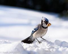 Pretty bluejay (Susan Newgewirtz) Tags: winter snow canada cold nature birds outdoors nikon montreal wildlife aves bluejay d750 february jays vgel oiseaux beaks urraca 2015 birdlovers arrendajo