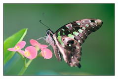 Graphium Agamemnon Butterfly (fabriciodo) Tags: flowers macro butterfly insect nikon asia moth butterflies lepidopt