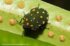 Bug Pachycoris sp. (jokevandenheuvel.photography) Tags: bug wildlife insects biodiversity suriname truebug jewelbug scutelleridae brownsberg pachycoris