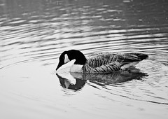 Canada Goose (moke076) Tags: park winter bw snow canada storm cold reflection bird nature water weather swim river georgia geese nikon south sandy canadian goose springs ripples float chattahoochee sleet sleeting d7000atlanta
