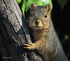"Red Tree Squirrel (It Passes as ""Wildlife"" Here) (Ethan.Winning) Tags: northerncalifornia squirrels northamerica dailynaturetnc13 dailynaturetnc14 ethanwinning californiaredtreesquirrel"