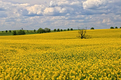 Rapeseed Field, II (louelke - gone a lot) Tags: yellow wow germany sweet smell raps oils biodiesel canola rapeseed