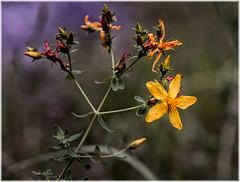 Yellow flower (ronnymariano) Tags: yellowflower harrimanstatepark forest plants nature flower harrimanpark city wildflower 2016 macro unitedstates newyork southfields us
