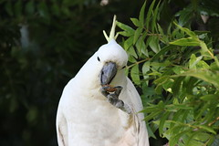 cooks-river-120716-015 (alison.klein) Tags: cockatoo australianbirds cooksriver