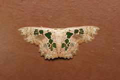 Trygodes musivaria - Costa Rica (Nick Dean1) Tags: geometridae lepidoptera moth animalia arthropoda arthropod hexapoda hexapod insect insecta costarica lakearenal trygodesmusivaria