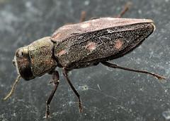 9.1 mm female buprestid (ophis) Tags: coleoptera buprestidae polyphaga chrysobothris metallicwoodboringbeetle elateriformia buprestoidea chrysobothrini chrysobothrissexsignata