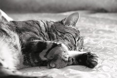 Riposo Felino (DADAEOS) Tags: tigrato tigro animali biancoenero canon eos5dmarkii riposo zampe gatto felino