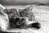 Riposo Felino (DADAEOS) Tags: tigrato tigro animali biancoenero canon eos5dmarkii riposo zampe gatto felino sigma