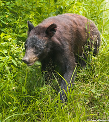 Charlotte (Bruce Wunderlich) Tags: red black bear cades cove smoky mountains tn charlotte nikon d750 simga 150600 bruce wunderlich dps