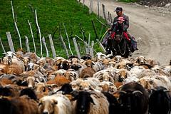 Cute sheperd (MelindaChan ^..^) Tags: xiangjiang  sheperd sheep river animal chanmelmel melindachan mel mellinda  melinda ilikazakhautonomousprefecture  xingjiang