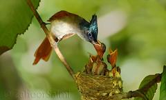 Paradise Flycatcher (Zahoor-Salmi) Tags: camera pakistan 2 macro nature birds animals canon lens photo tv google flickr natural action mark wildlife watch bbc 7d punjab discovery wwf salmi walpapers chanals beutty bhalwal zahoorsalmi
