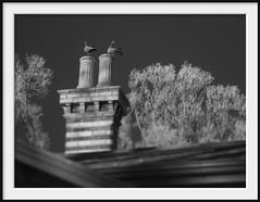 chimney ducks (Andrew C Wallace) Tags: chimney ducks ir infrared blackandwhite bw olympusomdem5 tiltshift microfourthirds m43 sinclairscottage fitzroygardens melbourne victoria australia 1866 caretakers residence home gardener polychromebrick italianate architecture roof trees