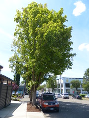 Mature Sugar or Silver Maple (Metro Transportation Planning and Development) Tags: sugar silver maple acer saccharum livable streets trees portland metro urban planning sustainability stormwater mitigation mature