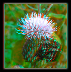 Mating Japanese Beetles on Thistle 2 - Anaglyph 3D (DarkOnus) Tags: macro sex closeup insect lumix japanese stereogram 3d weed day pennsylvania thistle beetle anaglyph panasonic stereo mating beetles japonica stereography buckscounty hump popillia ihd hihd dmcfz35 insecthumpday darkonus