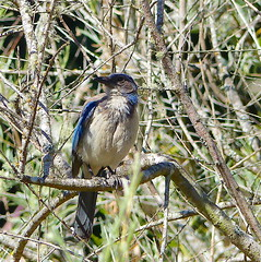 Scrub Jay (Kazooze) Tags: bird branches scrubjay nature outdoor posing