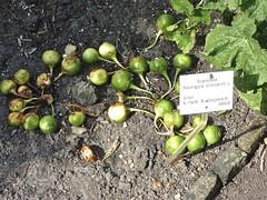Mandragora officinarum 1 (heinvanwinkel) Tags: 2011 alruin asterids bloemvandedag eudicotyledons euphyllophyta gunneridae hortus juli lamiids leiden magnoliophyta mandragoraofficinarum mandragoreae mesangiospermae nederland pentapetalae solanaceae solanales solanoideae spermatophyta tracheophyta