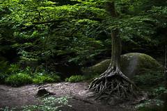 Roots of life / Races de vida... (Yoli in the woods...) Tags: arbol arbre tree raiz raices vida life details detalle treeoflife bretagne bretaa france francia bosque forest nikon d3100