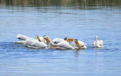 American White Pelican on Saratoga Lake (USFWS Mountain Prairie) Tags: nature wildlife conservation pelican whitepelican americanwhitepelican migratorybird