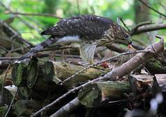 Juvenile Cooper's Hawk feeding (millerb34) Tags: birdperfect