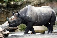 Day 197 of 366 (James_Seattle) Tags: africa wallpaper black animals oregon portland zoo photo nikon background july portlandoregon rhinoceros oregonzoo blackrhinoceros 2016 africananimals 366challenge d7200 nikond7200 july2016