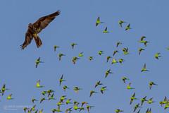 IMG_0644.jpg (Paul Williams www.IronAmmonitePhotography.com) Tags: bird budgerigar summer murmuration dryseason melopsittacusundulatus australia