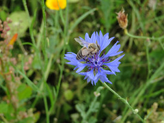 ckuchem-3097 (christine_kuchem) Tags: ackerrand bienenfreund bienenweide blumen blhstreifen feld felder klee landwirtschaft kornblume biene schmetterlingsbltler vogelschutz wiesenblume