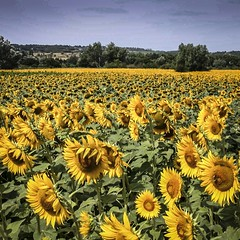 Tournesols (jemazzia) Tags: extrieur outtside provence jaune hank you very