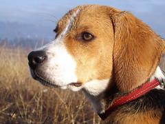 My wet hound, Dina (andraszambo) Tags: hund kutya dog hound beagle kopó tricolor tricolour meadow autumn portrait young female portré perro cano animal pet