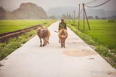 Vietnam from North to South (Yanis Ourabah) Tags: nikon d750 bull animal wildlife tam coc ninh binh 50mm 85mm 70200 14 18 28 sigma halong agence tour yanis ourabah asia asian vietnam vietnamese hanoi female road track trail roadtrail train city tourism tourist travel explore destination conic conical hat tradition traditional railroad garbage dirty poor bike bicycle moto motorbike scooter life streetlife street photography day moment women bridge pont ho chi minh motorbikes bicycles voyage long bien