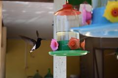 Beija Flor (Mrcio100) Tags: aves pssaros natureza apina santa catarina brasil passarinhos bird cascata mrcio100 mrcio alves paran