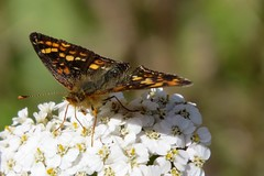 Visitor (Patricia Henschen) Tags: banff nationalpark park parcs parks canada lake johnsonlake mountains canadian rockies rocky northern achillea butterfly wildflowers wildflower asteraceae catchycolors yarrow