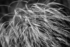 A Perfect Mess (belleshaw) Tags: blackandwhite ucrbotanicgarden nature papyrus grass blades messy strands plant bokeh detail