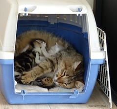 Katzenbabys * Kittens * Gatitos *   . P1300075-001 (maya.walti HK) Tags: 2016 230716 alibaba animales animals cats copyrightbymayawaltihk fderehx flickr gatitos gatos geboren19062016 katzen katzenbabys katzenbabysfderehx katzenbabysvonfderehx kittens mgimuck panasoniclumixfz200 tiere