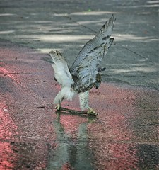 Hawk playing with a stick in the sprinkler (Goggla) Tags: nyc new york manhattan east village tompkins square park urban wildlife bird raptor red tail hawk fledgling juvenile play stick toy sprinkler