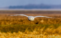 Flat Snowy (Vince Maidens) Tags: snowy owl canada winter canon bird prey hunt color colour nature wildlife outdoor animal depth field landscape serene natur