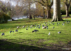 St. James Park - London (Frank Abbate) Tags: stjamespark birds london londra natura nature england city park parco tree albero alberi trees thames uk