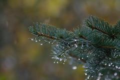 ckuchem-5993 (christine_kuchem) Tags: blaufichte fichte gegenlicht nadeln nahaufnahme regen regentropfen tropfen wasser wassertropfen romantisch