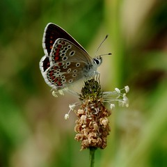 IMGP5630 Brown Argus, Devil's Dyke (Reach, Cambs), July 2016 (bobchappell55) Tags: insect devilsdyke cambridgeshire grassland brownargus plantain